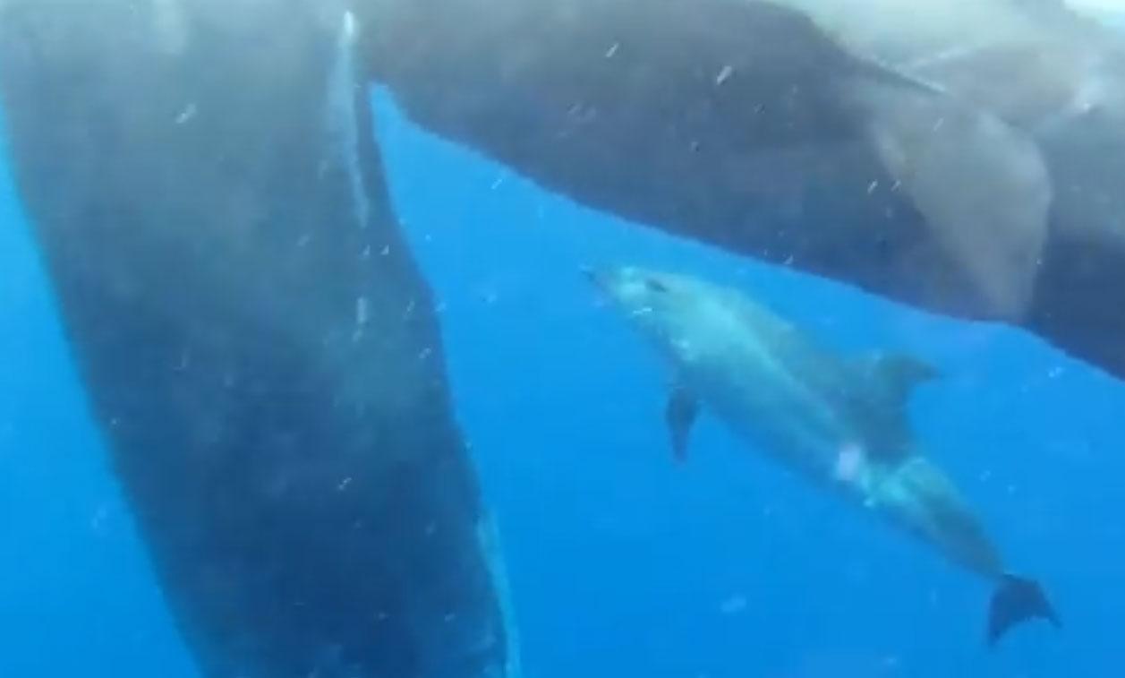 Un dauphin adopté par des cachalots