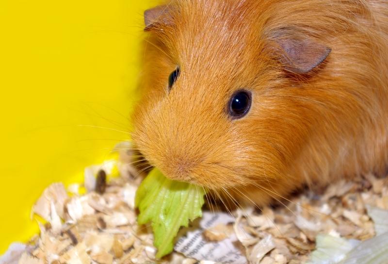 L'animalerie : le cochon d'Inde