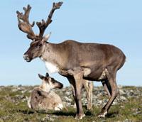 Sauvons les caribous !