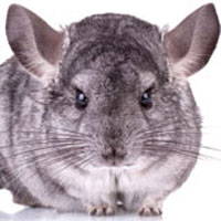 L'animalerie : le chinchilla