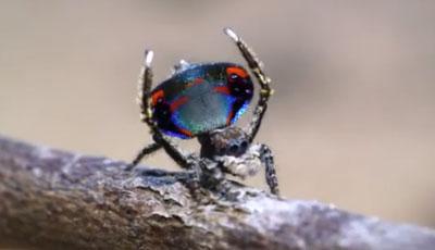 La danse de l'araignée-paon !