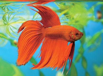 L'animalerie : le betta, un poisson splendide !