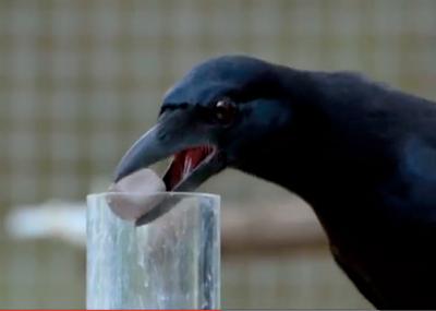 Bravo, monsieur le corbeau !