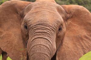 Intelligent comme un éléphant !