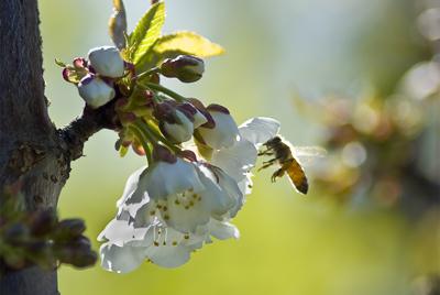Des humains pour faire le travail des abeilles