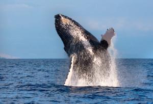 Un sauvetage de baleine époustouflant !