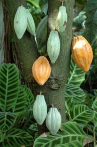 Réponse : arbre sur lequel pousse les fèves de cacao