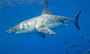 Des grands requins blancs dans le Saint-Laurent !