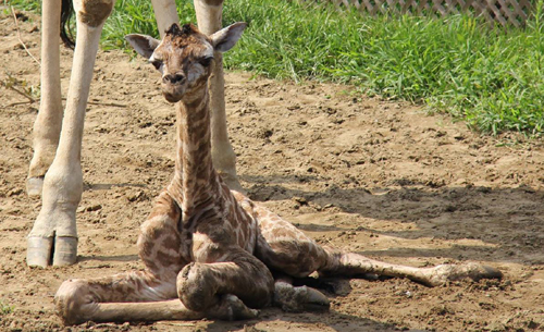 Un bébé girafe est né au Parc Safari