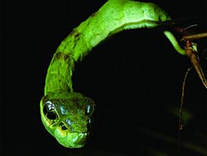 Une chenille déguisée en serpent !