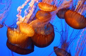 Plonge avec les méduses