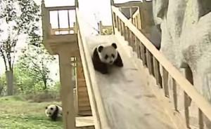 Des bébés pandas se lancent !