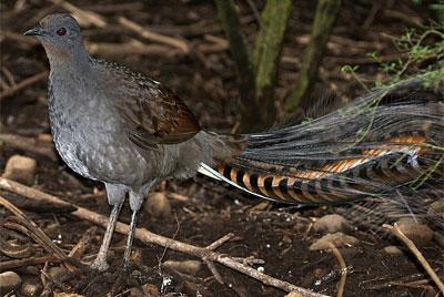 Un oiseau imitateur