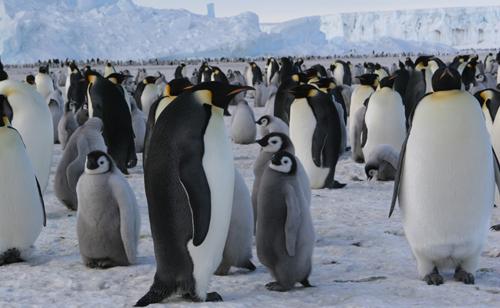 Les manchots, rois de l'Antarctique
