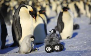 Bébé manchot sur roues