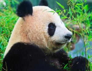 Pas si capricieux, le panda !