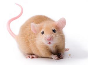 Sympa, la souris !