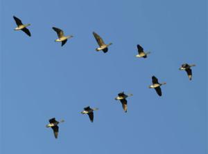 L'astuce des oiseaux migrateurs