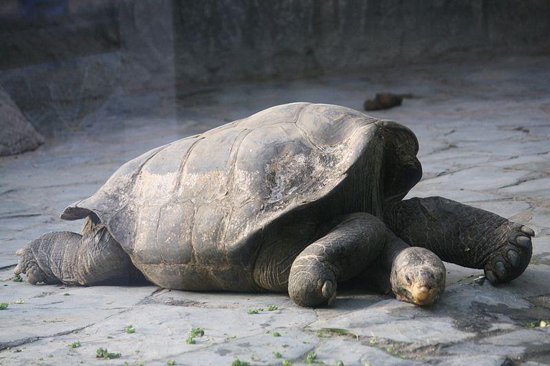 On a trouvé les petits d'une espèce de tortues menacée