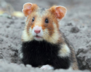 Au secours du hamster d'Europe