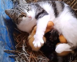 Une chatte adopte des canetons