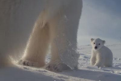 Une ourse filme les premiers pas de son petit !