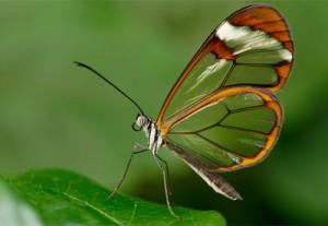 Un papillon aux ailes transparentes