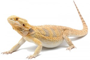 Le dragon barbu, un reptile amical !