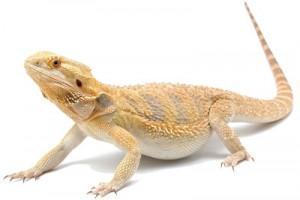 Le dragon barbu, un reptile amical !