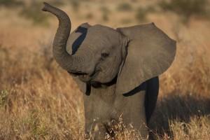 Les éléphants aiment la musique !