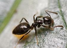 Parfum de fourmi