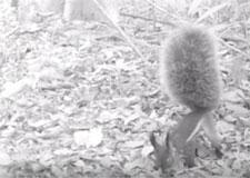 Un « écureuil-vampire » filmé pour la première fois!