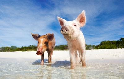 L'île des cochons aux Bahamas