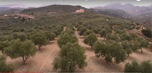 La production d'huile d'olive