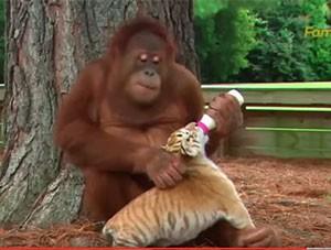 Un orang-outan prend soin des bébés tigres