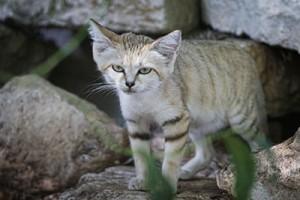 Bonne nouvelle pour le chat des sables !