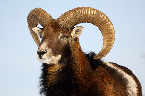 Chèvre ou mouflon ?