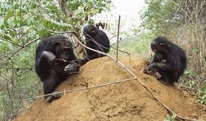 On espionne les chimpanzés