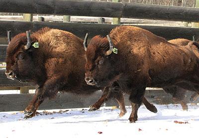 Le retour du bison