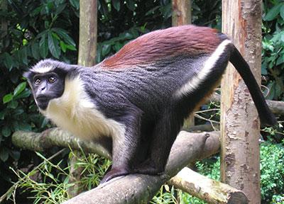 Des biologistes découvrent des singes au Congo