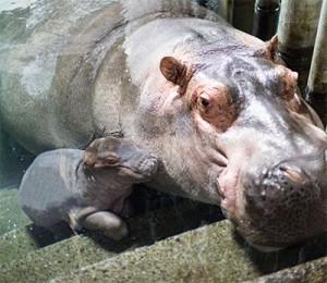 Un petit nouveau chez les hippopos !