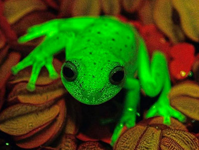 Une grenouille fluo !