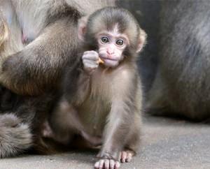 Reste ici, bébé macaque !