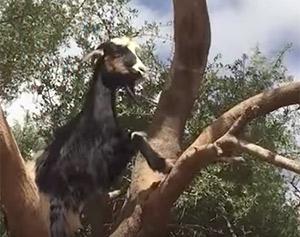 Des chèvres sur un arbre