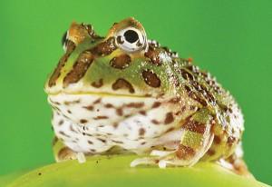 La morsure des grenouilles à grande bouche