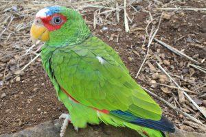 Des nichoirs pour protéger les perruches australiennes