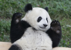 Les pandas de Shanghai célèbrent le nouvel an chinois