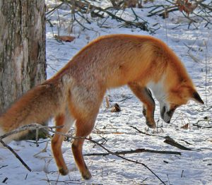 Le renard roux en action !