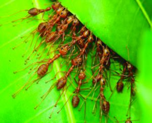 Les fourmis couturières