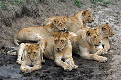 La vie de groupe des animaux